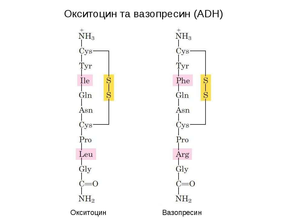Окситоцин та вазопресин (ADH) Окситоцин Вазопресин (ADH)