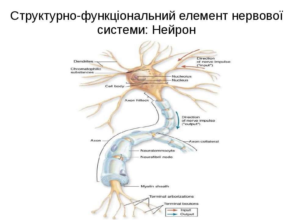 Структурно-функціональний елемент нервової системи: Нейрон