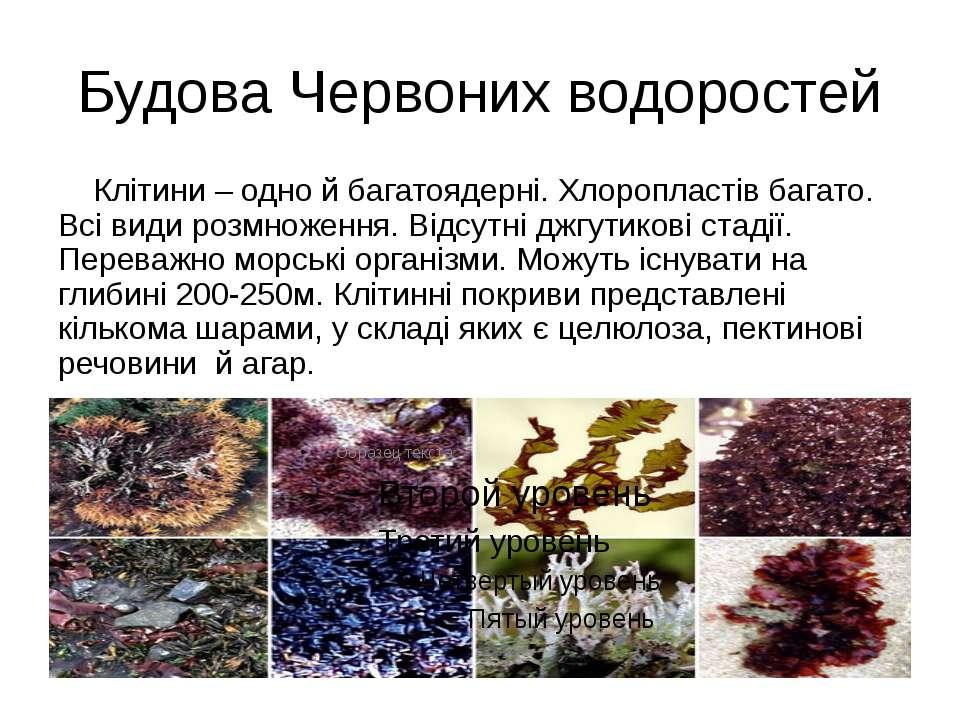 Будова Червоних водоростей Клітини – одно й багатоядерні. Хлоропластів багато...