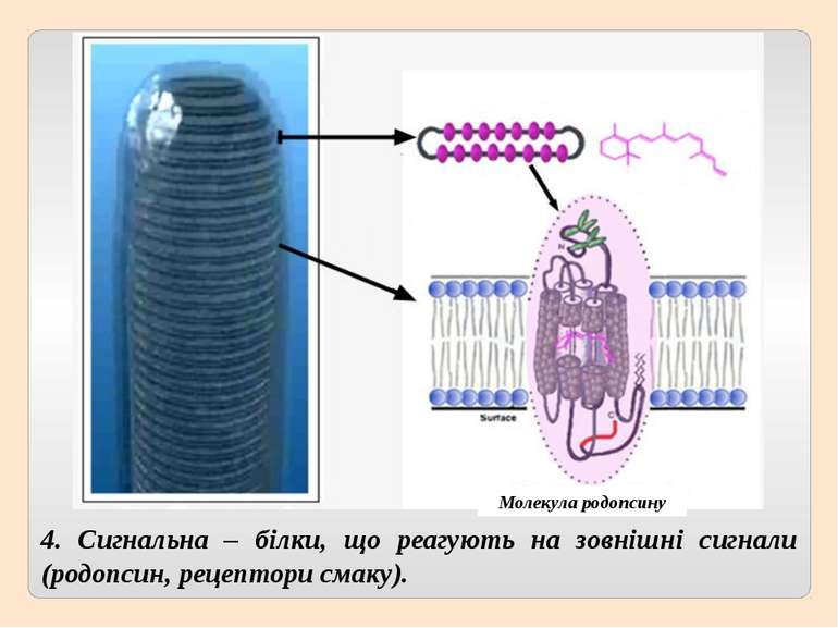 4. Сигнальна – білки, що реагують на зовнішні сигнали (родопсин, рецептори см...