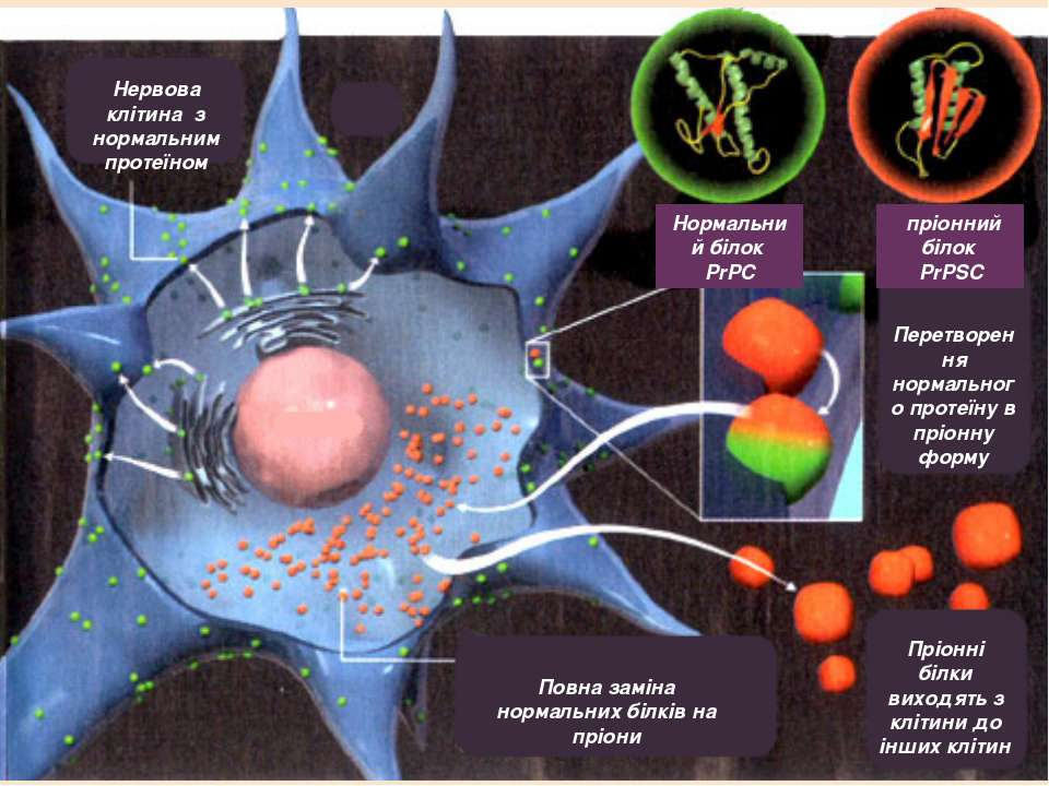 Нервова клітина з нормальним протеїном Перетворення нормального протеїну в пр...