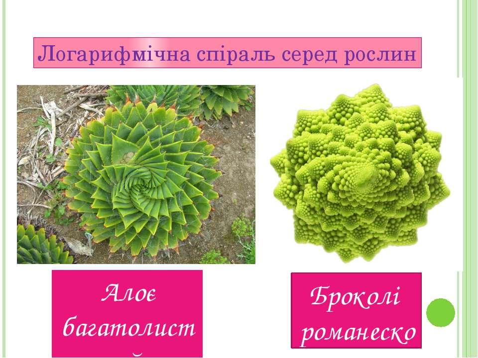 Логарифмічна спіраль серед рослин Алоє багатолистий Броколi романеско