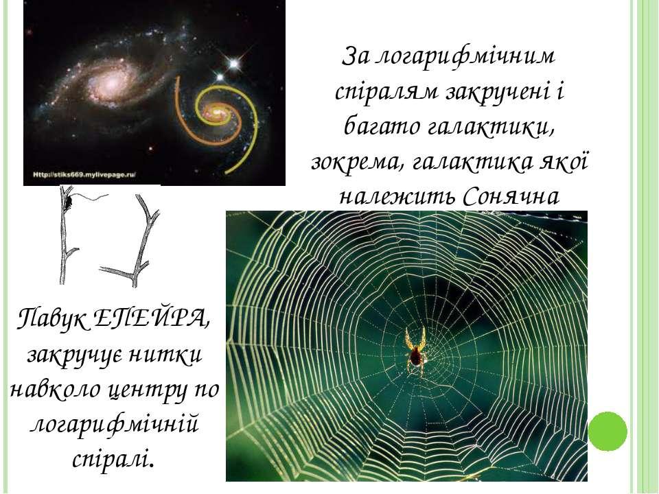 Павук ЕПЕЙРА, закручує нитки навколо центру по логарифмiчнiй спiралi. За лога...