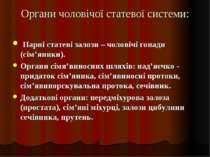 Органи чоловічої статевої системи: Парні статеві залози – чоловічі гонади (сі...
