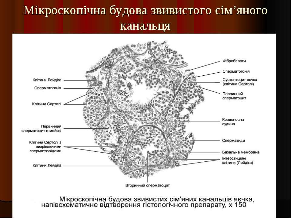 Мікроскопічна будова звивистого сім'яного канальця