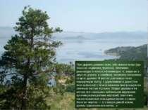 Про дерево джангис-агач, або жангиз-агаш (що означає «одиноке дерево»), Шевче...