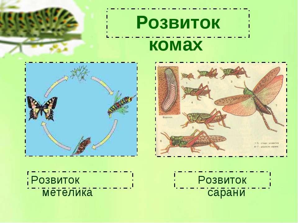 Розвиток метелика Розвиток сарани Розвиток комах