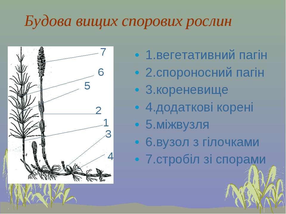 Будова вищих спорових рослин 1.вегетативний пагін 2.спороносний пагін 3.корен...