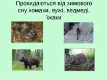 Прокидаються від зимового сну комахи, вужі, ведмеді, їжаки