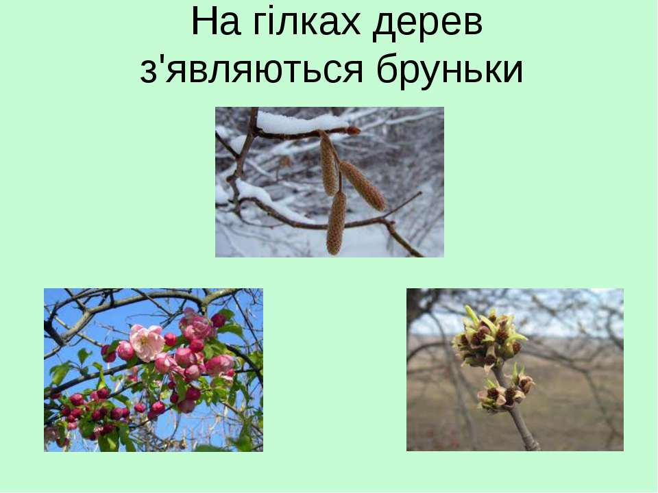 На гілках дерев з'являються бруньки