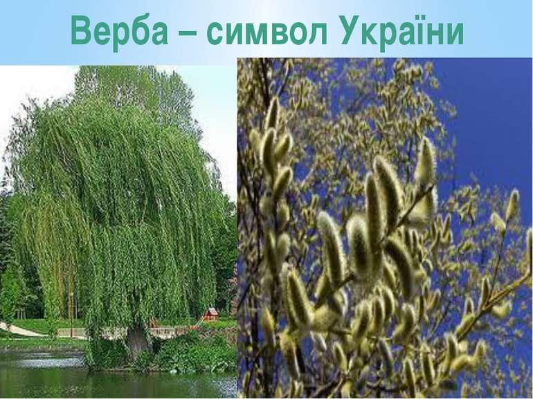 Верба – символ України