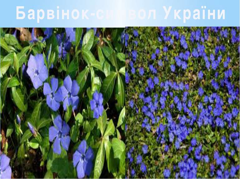 Барвінок-символ України
