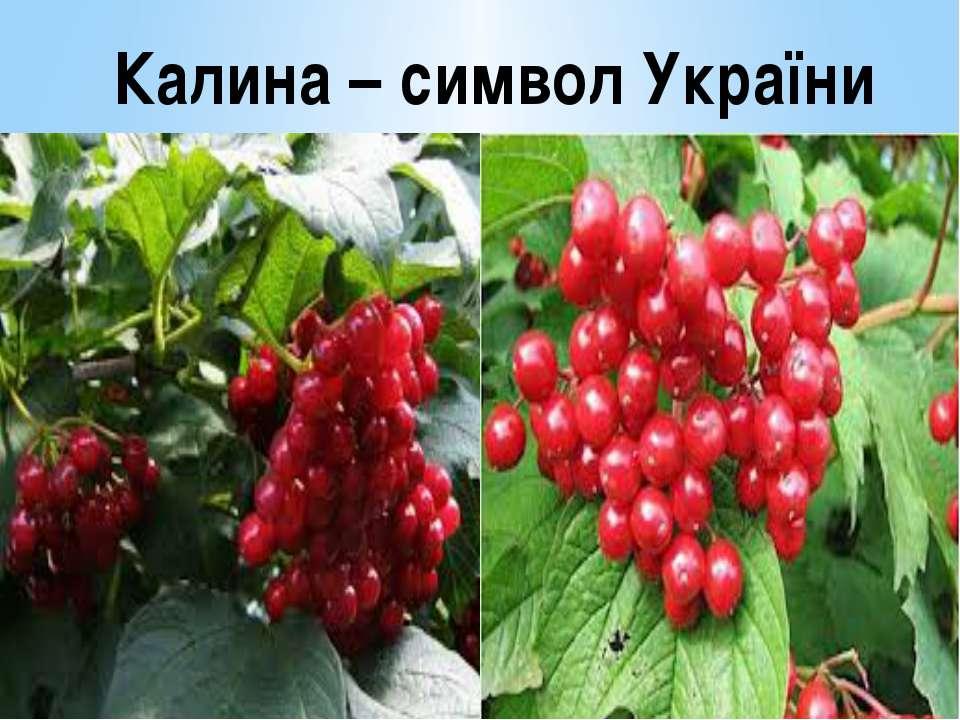 Калина – символ України