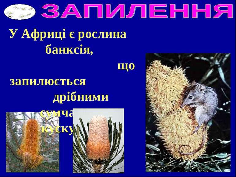 У Африці є рослина банксія, що запилюється дрібними сумчастими кускусами.