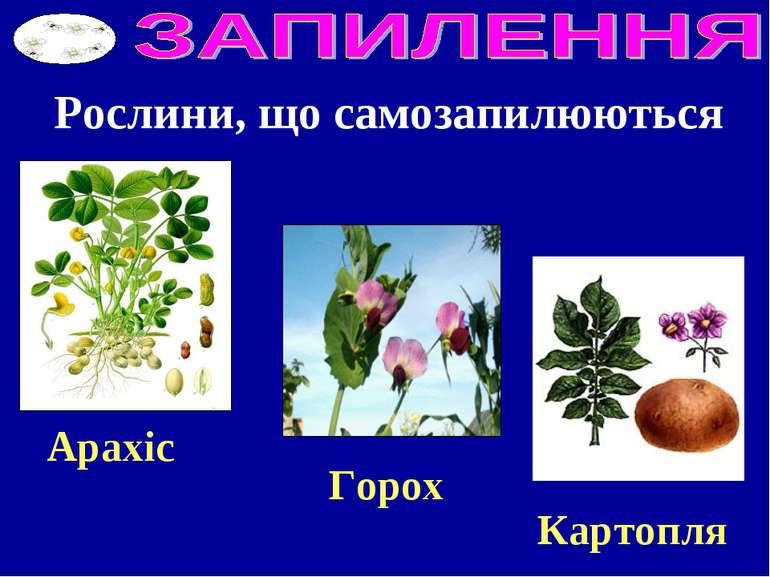 Рослини, що самозапилюються Горох Картопля Арахіс