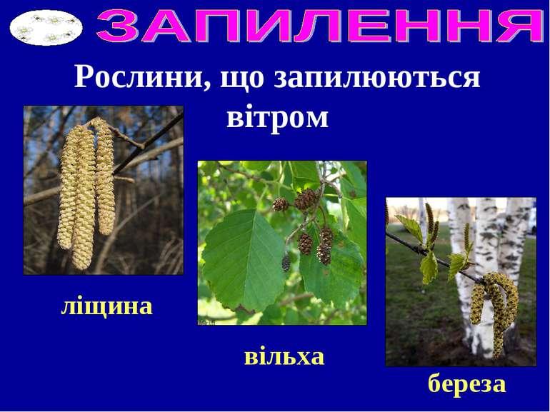 Рослини, що запилюються вітром ліщина вільха береза