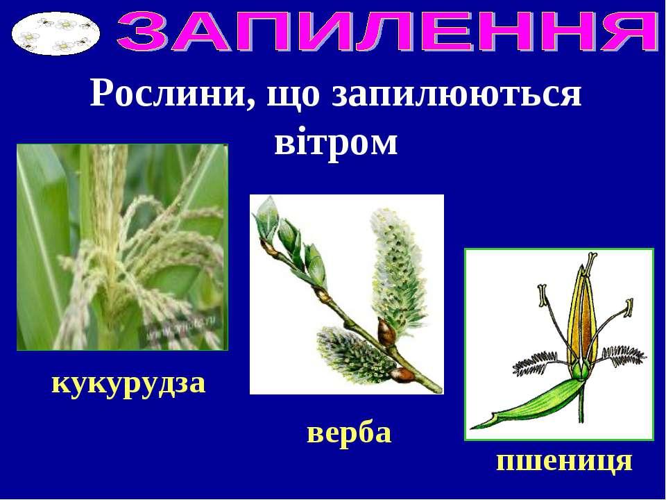 Рослини, що запилюються вітром кукурудза пшениця верба