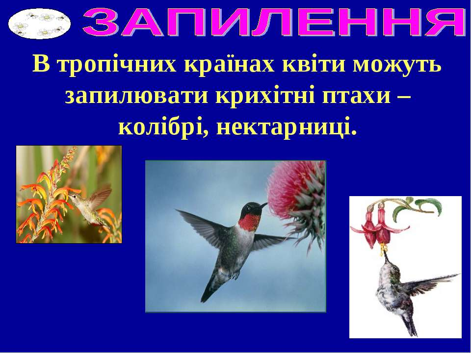 В тропічних країнах квіти можуть запилювати крихітні птахи – колібрі, нектарн...