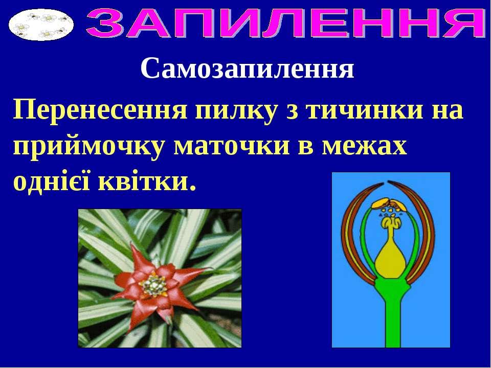 Перенесення пилку з тичинки на приймочку маточки в межах однієї квітки. Самоз...
