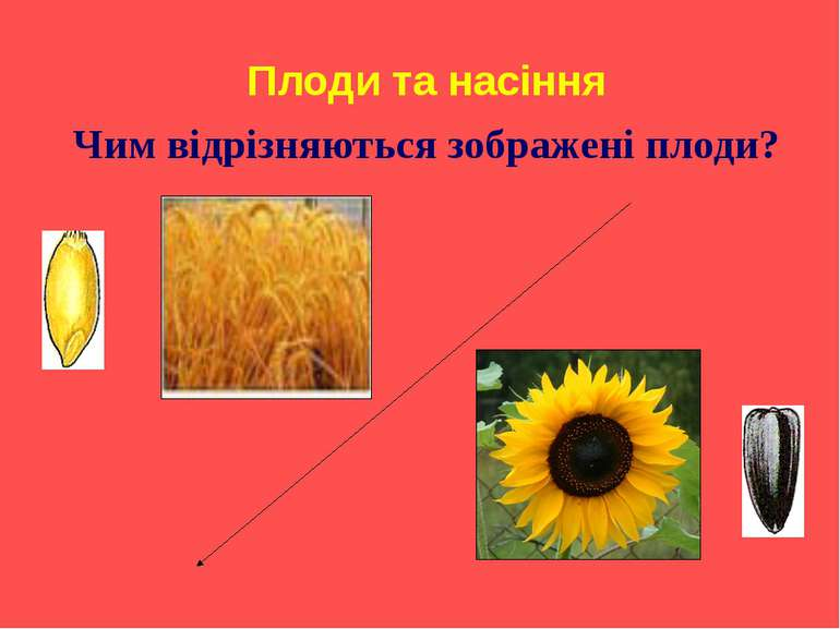 Плоди та насіння Чим відрізняються зображені плоди?