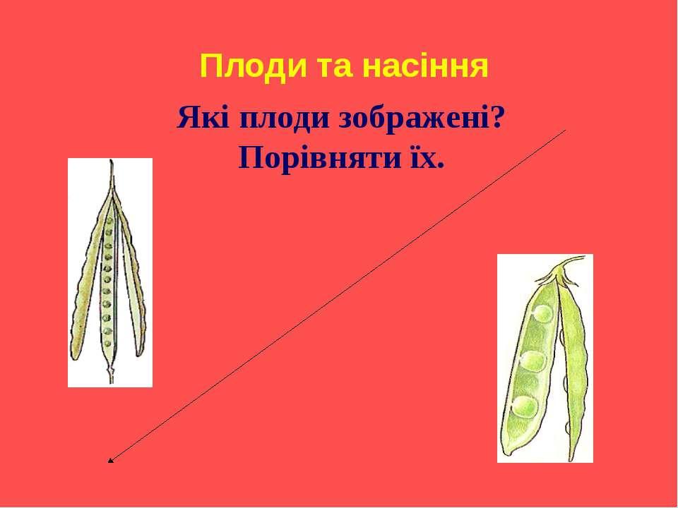 Плоди та насіння Які плоди зображені? Порівняти їх.