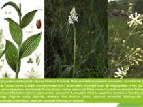 Багатою є група субальпійських видів, яка налічує близько 30 рослин. Вони зви...