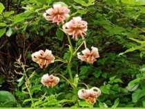 А також Лілія лісова (Lilium martagon L.). У світлих лісах, на високогірних л...