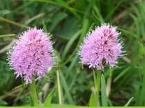 Та ще також Траунштейнера куляста (Traunsteinera globosa (L.) Rchb.). На висо...