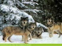 У рідкісних тварин можна віднести рись, вовка, бурого ведмідь кота лісового.