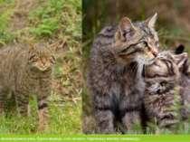 У рідкісних тварин можна віднести рись, бурого ведмідь, кота лісового. Карпат...