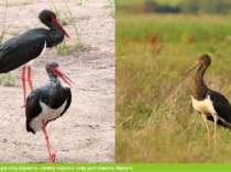 До зникаючих видів слід віднести - лелеку чорного, сову долгохвоста, беркута.