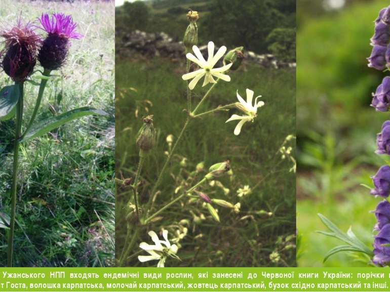 У склад флори Ужанського НПП входять ендемічні види рослин, які занесені до Ч...