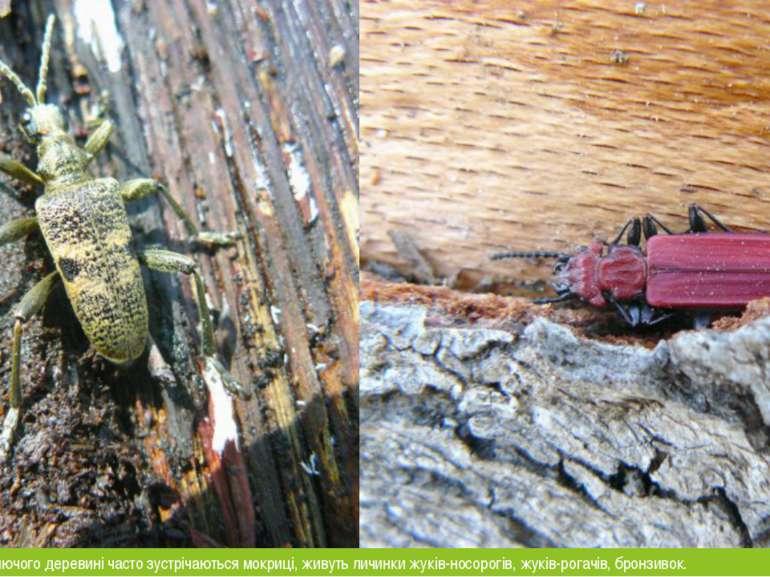 В трухла пнях і гниючого деревині часто зустрічаються мокриці, живуть личинки...