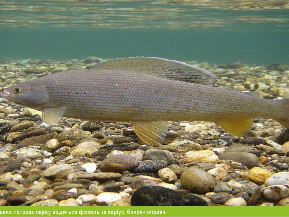 У річці Уж та гірських потоках парку водиться форель та харіус, бичок-головач.