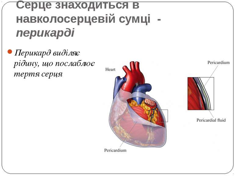 Серце знаходиться в навколосерцевій сумці - перикарді Перикард виділяє рідину...