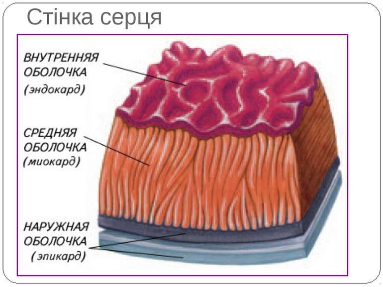 Стінка серця