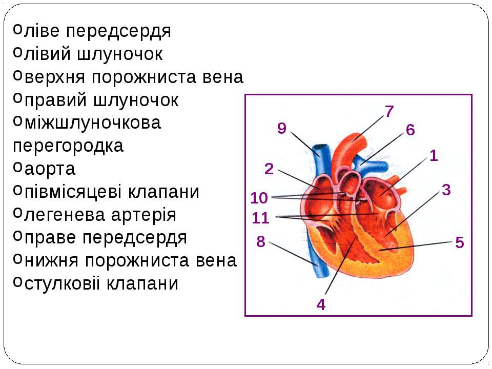 1 2 3 4 5 6 7 8 9 10 11 ліве передсердя лівий шлуночок верхня порожниста вена...