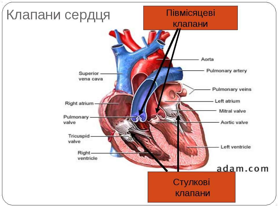 Клапани сердця Стулкові клапани Півмісяцеві клапани