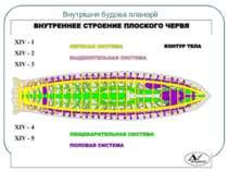 Внутрішня будова планарії