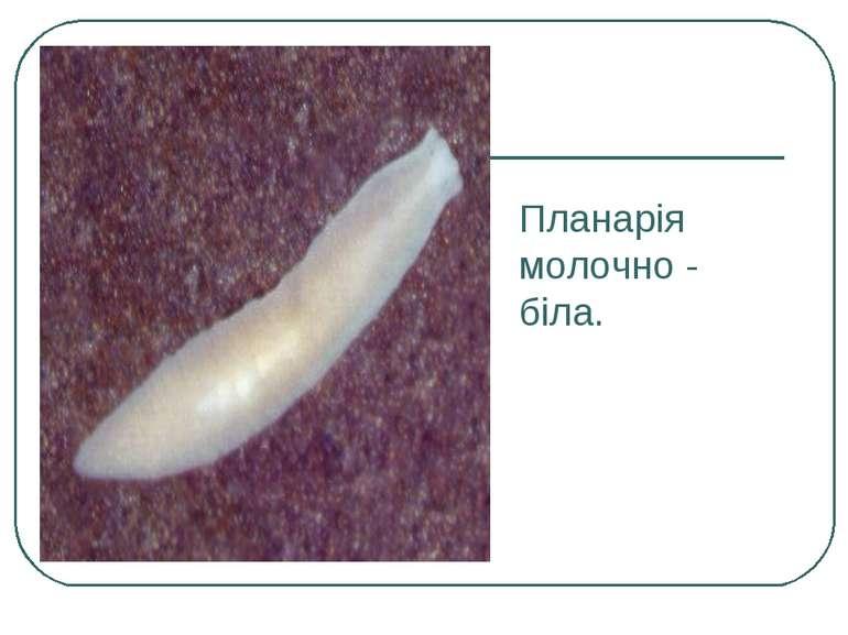 Планарія молочно - біла.