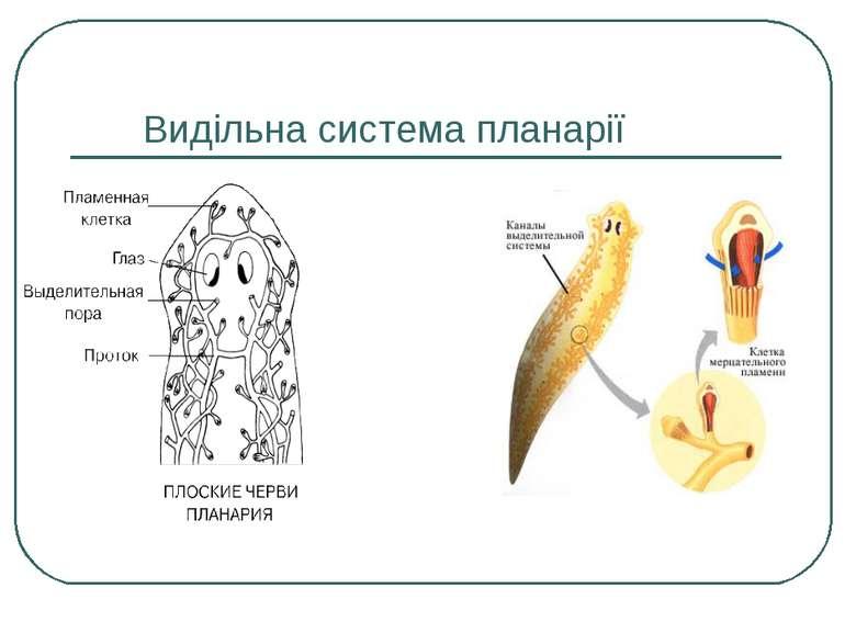 Видільна система планарії