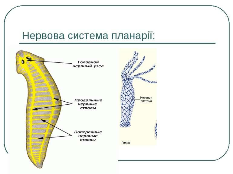 Нервова система планарії: