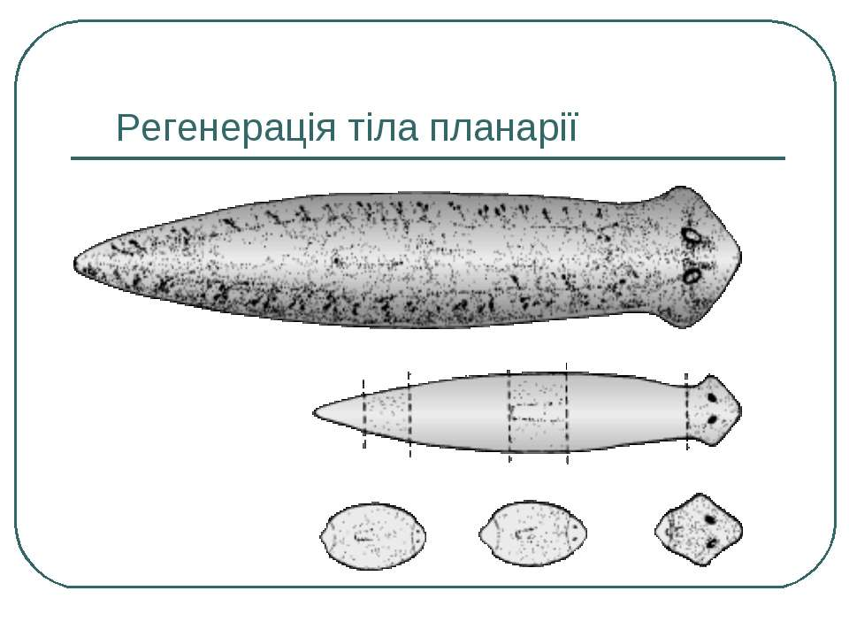 Регенерація тіла планарії