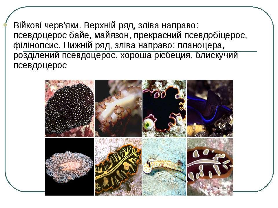 Війкові черв'яки. Верхній ряд, зліва направо: псевдоцерос байе, майязон, прек...