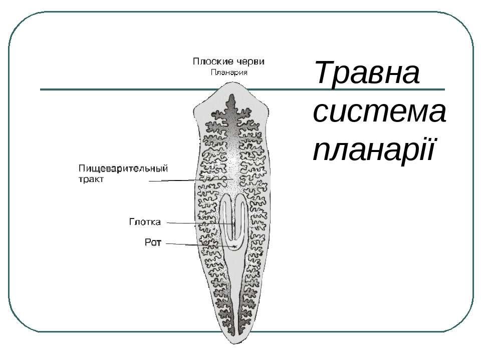 Травна система планарії