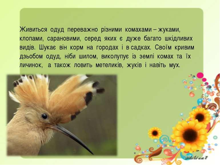 Живиться одуд переважно різними комахами – жуками, клопами, сарановими, серед...
