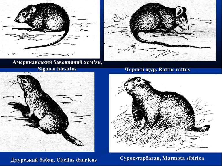 Американський бавовняний хом'як, Sigmon hirsutus Чорний щур, Rattus rattus Да...