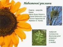 Небезпечні рослини Амброзія полониста. Викликає різні алергічні реакції у люд...