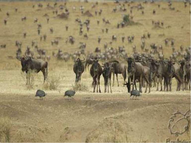 Голуба антилопа гну живе в Африці. Вона бородата. На шиї в неї грива, як у ко...