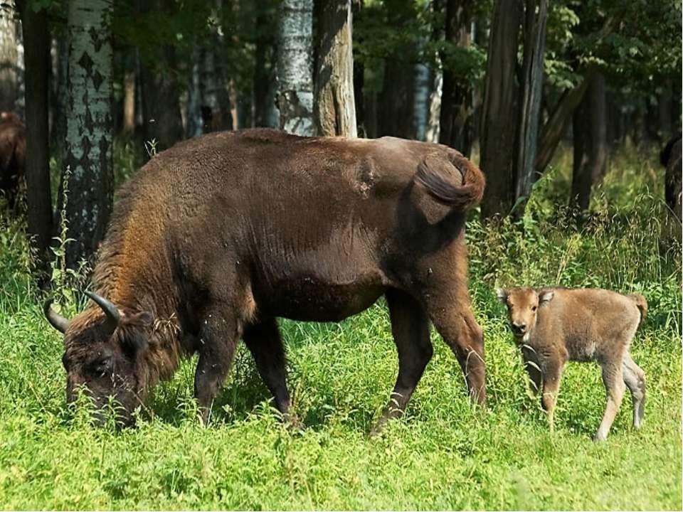 Батьківщина бізонів - Північна Америка. Там вони ходили величезними стадами. ...